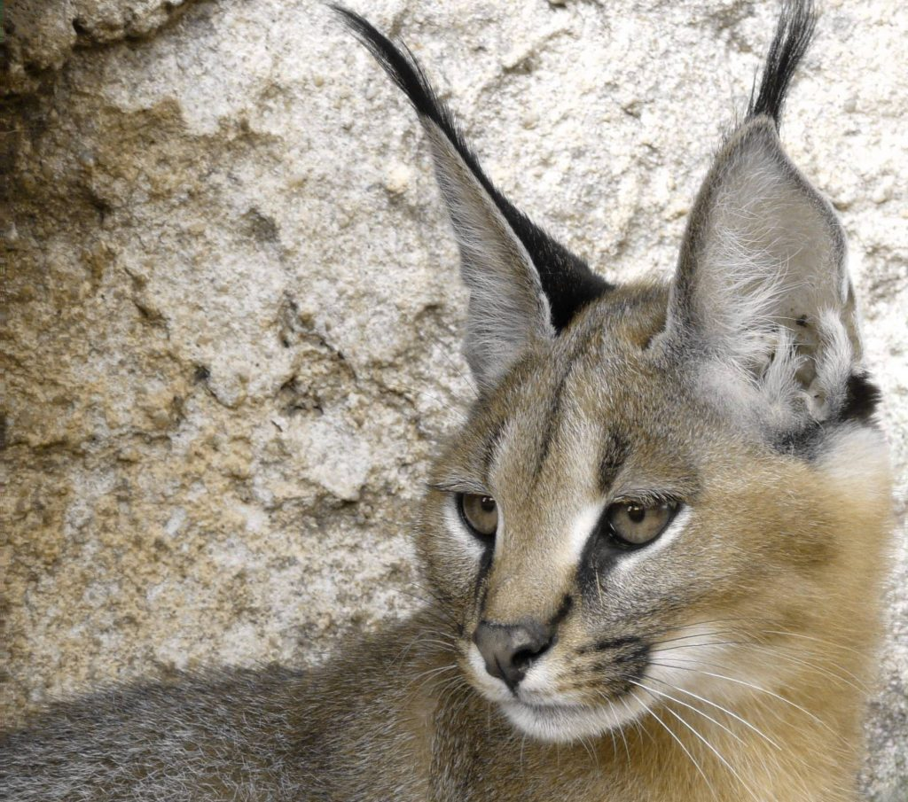 Caracal - Fauverie du Faron